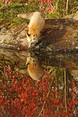 Red fox (Vulpes vulpes) drinking with reflection and fall color.  Pine County, MN  Captive
