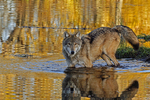 Wolf (Canis lupus) & reflection in autumn waters.  Pine County, MN  Captive