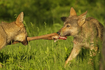 Wolf pups (Canis lupus) playing tug-of-war with deer leg, Pine County, MN  Captive