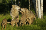 Gray wolf family (Canis lupus) greeting each other, Pine County, MN  Captive