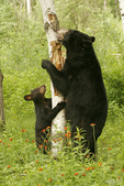 Black bear (Ursus americanus) mother and cub, Pine County, Minnesota, Captive