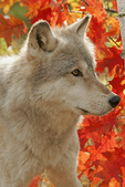 Timber or gray wolf, Canis lupus, peering beside birch tree in autumn, captive, Pine County, MN