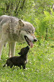 Wolf adult with pup(Canis lupus) begging to be fed, Pine County, Minnesota, Captive