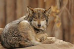 Mexican Wolf, Canis lupus baileyi.  Endangered.  Smallest wolf in North America.  Captive, Rio Grande Zoo, Albuquerque, NM.