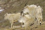 Mountain goat (Oreamnos americanus) adults & yearling, Mt. Evans, CO