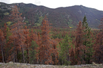 Beetle-killed conifers, a bi-product of prolongued drought in the Rocky Mtn States, near Grand Lake, Rocky Mtn Nat'l Park, CO