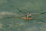Water strider, Aquarius remigis, and reflection.  Also known as Jesus bug, pond skater, water skeeter.  Actually walks on top of the water.  Kimble County, TX