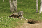 Female wolf (Canis lupus) nursing pups near den, Pine County, Minnesota, Captive
