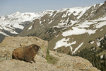 Young marmot & Rocky Mountains