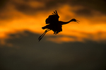 USA, New Mexico, Bosque del Apache National Wildlife Refuge.  Sandhill crane (Grus canadensis) landing at sunset.