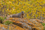 Yellow-bellied marmot (Marmota flaviventris) on a fall day.  Rocky Mountain National Park, CO