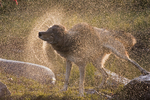 Gray Wolf (Canis lupus) shaking off water.  Pine County, MN  Captive