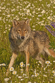 Gray wolf (Canis lupus) in a field of daisies.  Pine County, MN  Captive