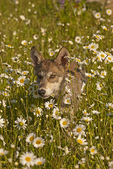 Gray wolf pup (Canis lupus) running through daisies.  Pine County, MN  Captive