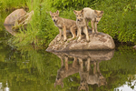 Gray wolf pups (Canis lupus) and reflections.  Pine County, MN  Captive