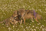 Gray wolf family (Canis lupus) playing in a field of daisies.  Pine County, MN  Captive