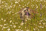 Gray wolf pups (Canis lupus) playing in a field of daisies.  Pine County, MN  Captive