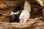 Albino and normal baby striped skunks.  Pine County, MN Captive