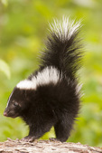 Baby striped skunk.  Pine County, MN  Captive