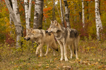 Wolf pair in birch forest, Pine County, MN  Captive