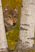 Wolf peering through birch tree trunks, Pine County, MN  Captive