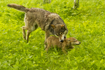 Adult gray wolf (Canis lupus) playing with young. Pine County, MN  captive