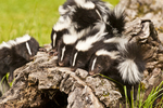Young striped skunks (Mephitis mephitis). Pine County, MN  captive
