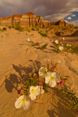 North America, USA, Utah, Grand Staircase Escalante National Monument. Evening primrose Oenothera deltoides) blossoms soften the harsh enrivonment of the Colorado Plateau.