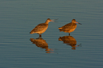 North America, USA, California, San Luis Obispo County. Marbled godwits mating behavior.
