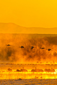 north America, USA, New Mexico, Bosque del Apache National Wildlife Refuge. Sandhill cranes in sunrise fog.