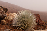 North America, USA Hawaii, Maui, Haleakala National Park. Silversword and fog.