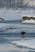 North America, USA, Alaska, Chilkat Bald Eagle Preserve. Bald eagle in icy stream.