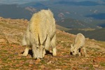 North America, USA, Colorado, Mt. Evans. Mountain goat nanny and kid feeding among alpine wildflowers.