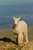North America, USA, Colorado, Mt. Evans. Mountain goat kid.