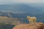 North America, USA, Colorado, Mt. Evans. Mountain goat kid and scenery.