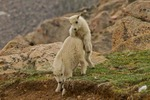 North America, USA, Colorado, Mt. Evans. Mountain goat kid playing.