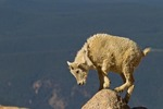North America, USA, Colorado, Mt. Evans. Mountain goat yearling climbing.