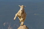 North America, USA, Colorado, Mt. Evans. Mountain goat yearling jumping.