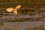 North America, USA Louisiana, Miller Lake. Snowy egret fishing.