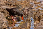 New Zealand, Stewart Island. Varied oystercatcher feeding with chick.