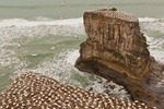 New Zealand, North Island, Muriwai Beach, Takapu Gannet Colony. Australasian gannet colony.