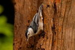 North America, USA, North Carolina. White-breasted nuthatch.