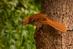 North America, USA, North Carolina. Brown thrasher.
