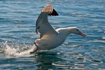 New Zealand, South Island, Kaikoura. Royal albatross.
