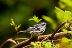 North America, USA, North Carolina. Black and white warbler.