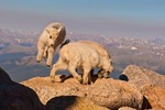 North America, USA, Colorado, Mt. Evans. Mountain goat kids playing.