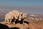 North America, USA, Colorado, Mt. Evans. Mountain goat kids.