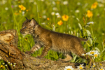 Bobcat kitten (Felis rufus) in flowers, Pine County, MN  captive