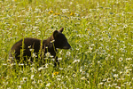 Black bear cub (Ursus americanus) in flowers, Pine County, MN  captive