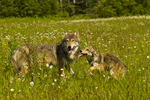 Gray wolf pup and adult (Canis lupus), Pine County, MN  captive